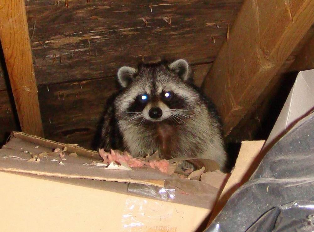 Raccoons In Attic Thinking Out Loud