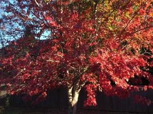 november-maple